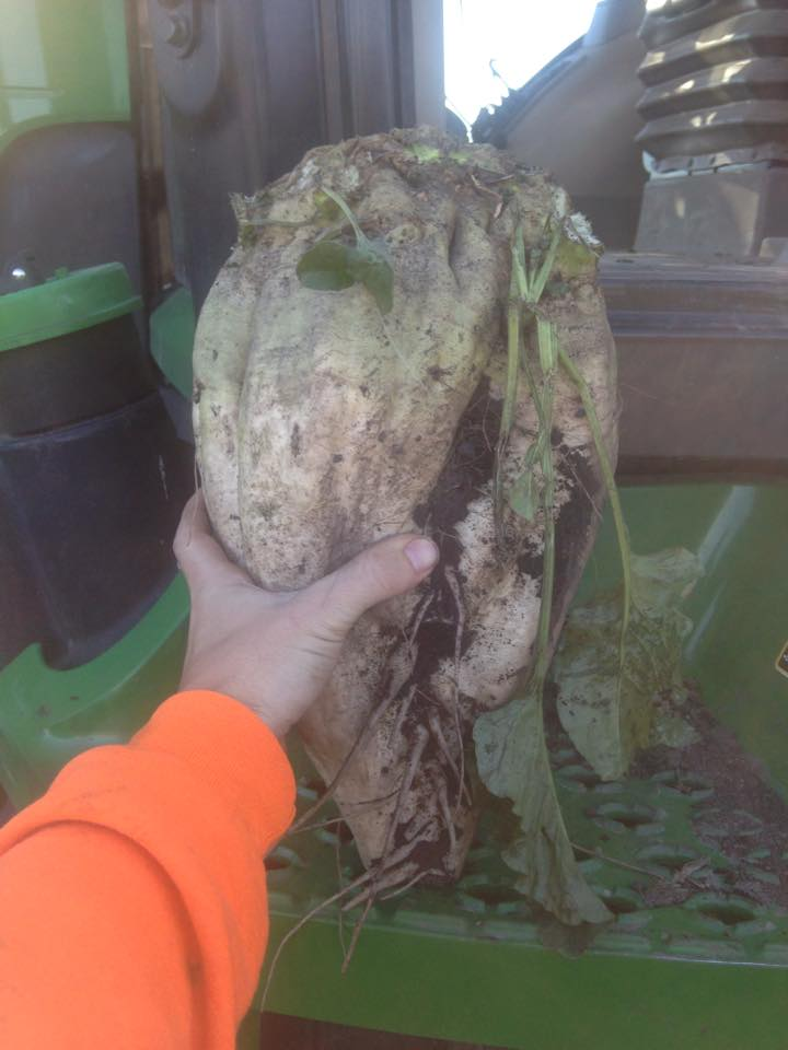 Ryberg_Farms_Sugar_Beet.jpg